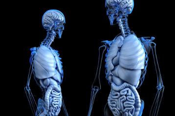 Anatomische Körper